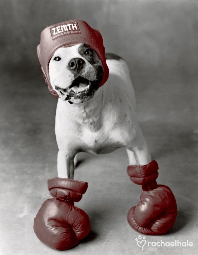 Boxing Dog, Credit: rachaelhale